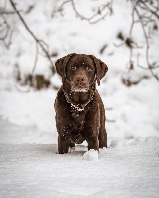 labrador marrón en la nieve