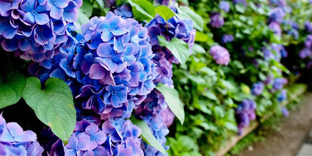 blue,purple, tip, growing, market, flower, bouquets, hydrangeas, athomewithjemma.com
