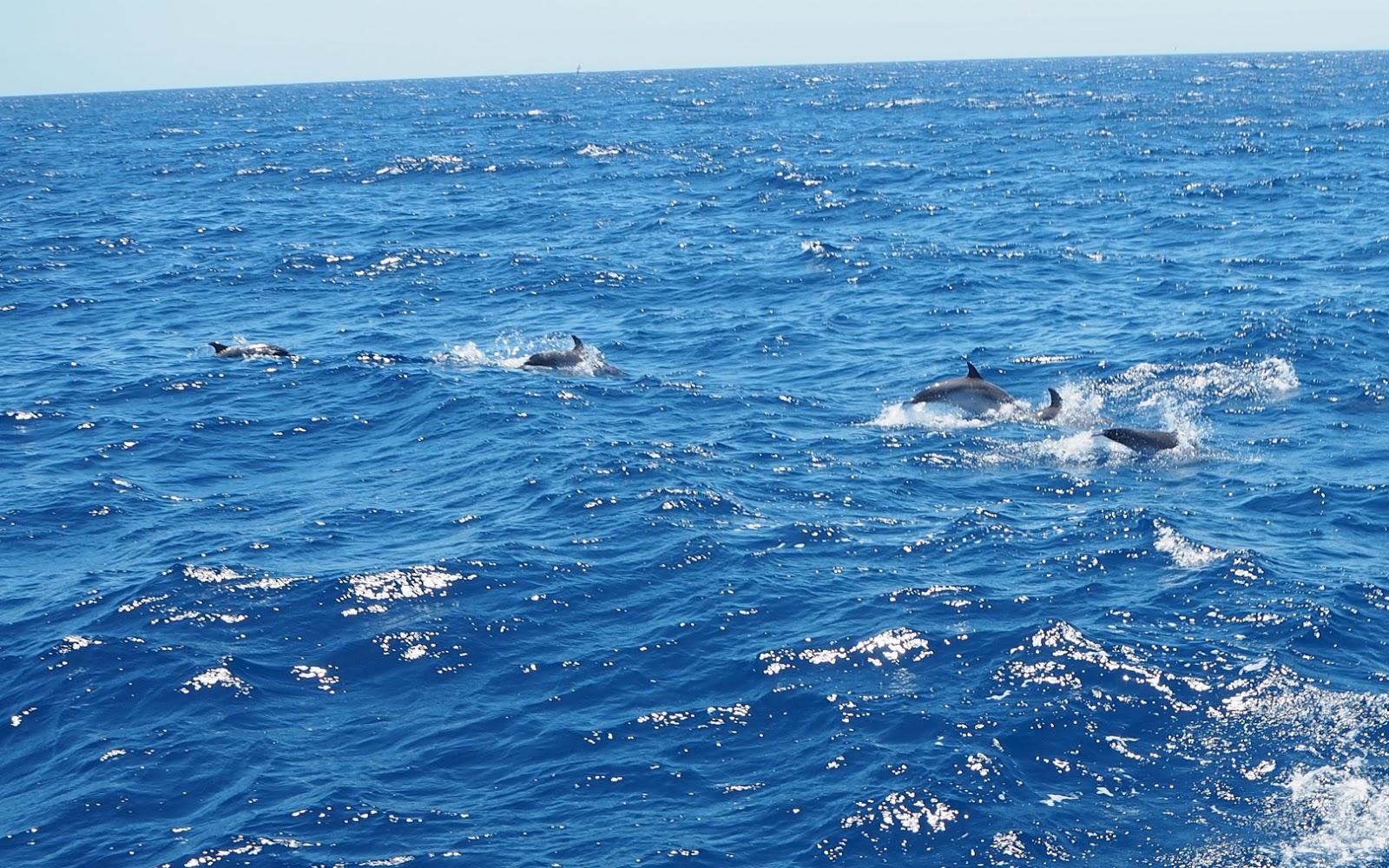 dolphin gran canaria