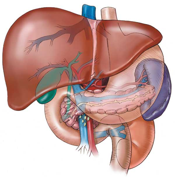 Fact Bank: WHAT IS THE LARGEST AND HEAVIEST INTERNAL ORGAN ...