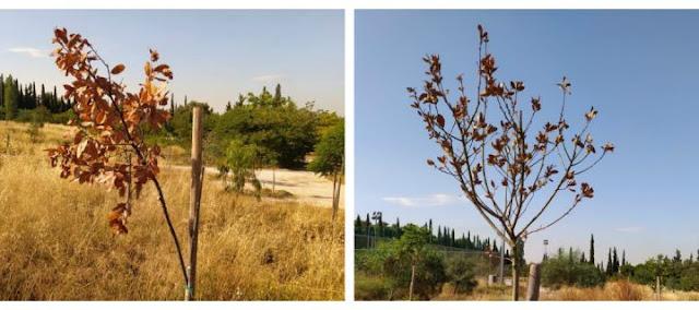 Αλληλέγγυα Πόλη: Άφησαν να ξεραθούν δεκάδες δέντρα στο Πάρκο Τρίτση – Μεγάλες οι ευθύνες του Φορέα και του κ. Πατούλη