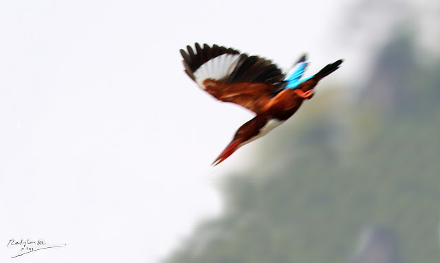 White-throated Kingfisher - Diving and trying to catch a prey