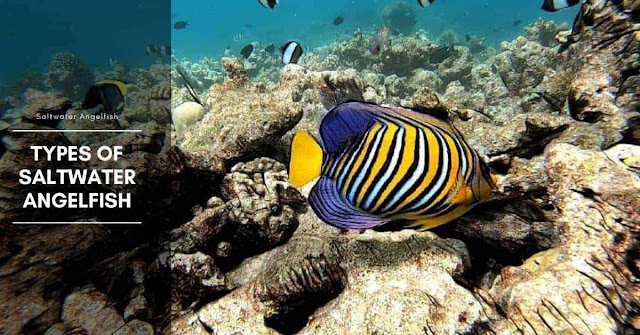 Saltwater Angelfish And Its Habitat