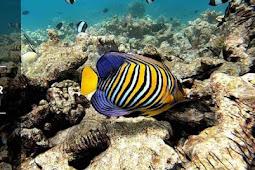 Saltwater Angelfish And Its Habitat