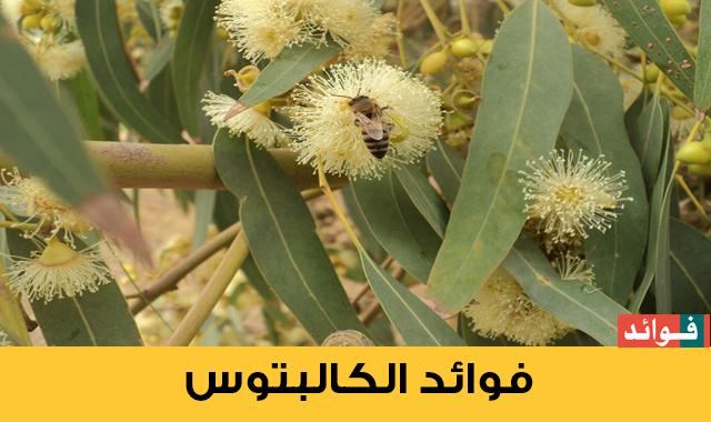 فوائد شجرة الأوكالبتوس أو الكالبتوس  Eucalyptus