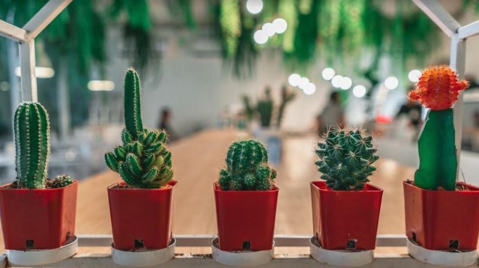 cara merawat kaktus