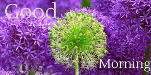 purple good morning flowers image