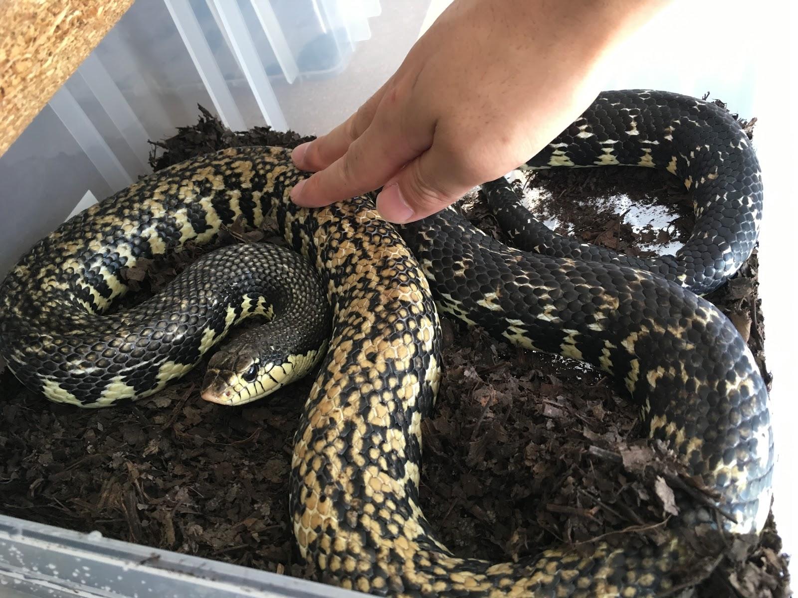 田舎の蛇屋blog―もっと強い蛇を...