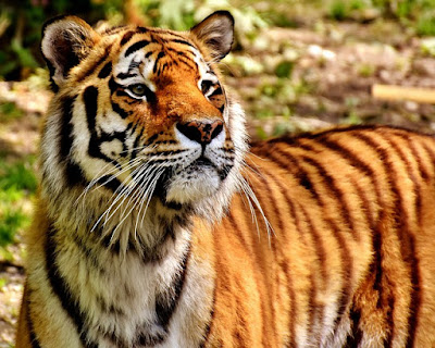Tiger Images And Wallpaper
