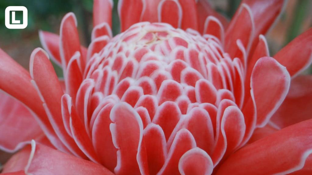 Campo experimental de flores tropicais em Acorizal é referência no estado.