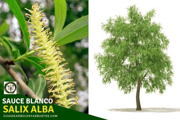 El sauce blanco es un árbol de buen porte, que puede crecer hasta más de 20 m de altura