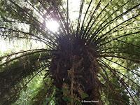Tree fern top, Te Kainga Marire - New Plymouth, New Zealand