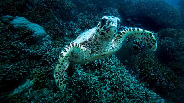 Turtle on Great Barrier Reef:Photo by Joey Csunyo on Unsplash