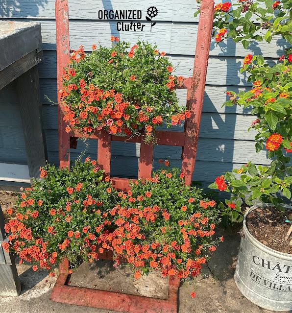 Photo of orange diascia planters in August