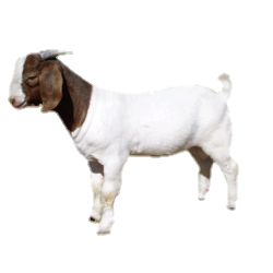 https://www.goatfarming.ooo/2019/08/boer-goat.post.html