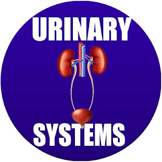 urinary system in spanish