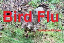 Bird flu virus : Bird Flu वायरस क्या है? बर्ड फ्लू से बचने के उपाय | Symptoms of bird flu in humans |