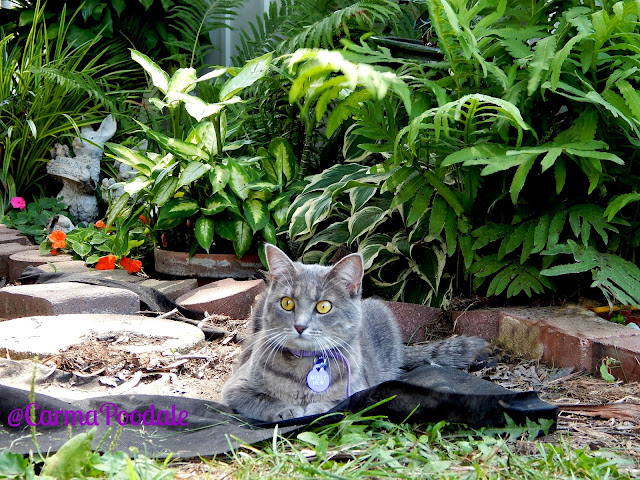 Grey cat, Molly Mew, laying near the shade garden