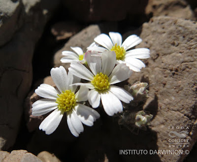 flor de Oriastrum lycopodioides