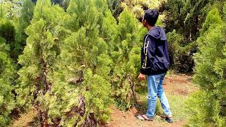 Jual Pohon Cemara Kipas,Tanaman Hias