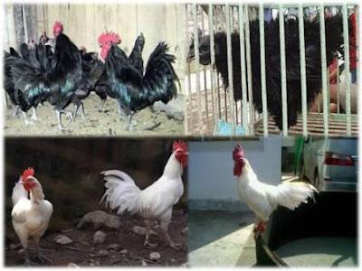 ayam kedu atau cemani