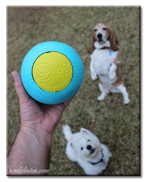 Westie and Basset admiring GoDog Blue and yellow Beast ball.