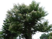 花博記念公園鶴見緑地 シマサルスベリ