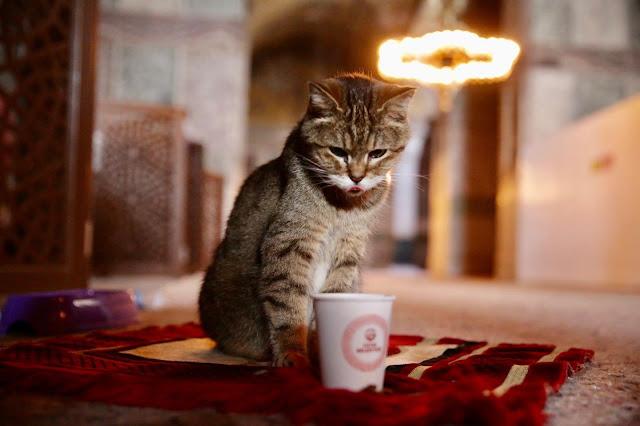 2 Bulan Menderita Sakit, Gli Kucing Penghuni Masjid Hagia Sophia Meninggal di Usia 16 Tahun