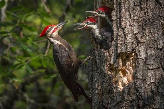 Ağaçkakan - A Hayvan İsimleri