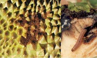 Bệnh sâu đục trái sầu riêng