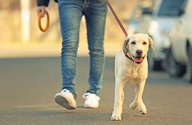 Có nên dắt chó đi dạo sau khi ăn?