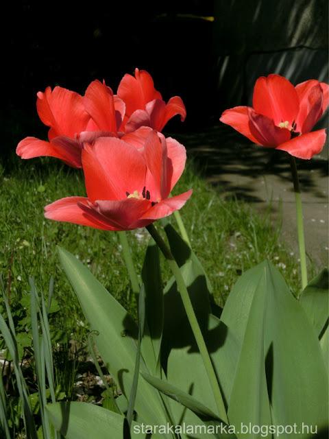 тюльпан Екатерина Великая, тюльпаны, лучшие сорта тюльпанов