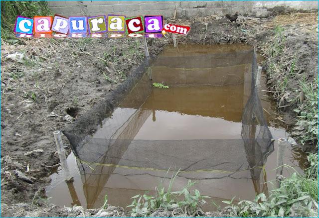 kolam tanah pakai jaring untuk ikan lele
