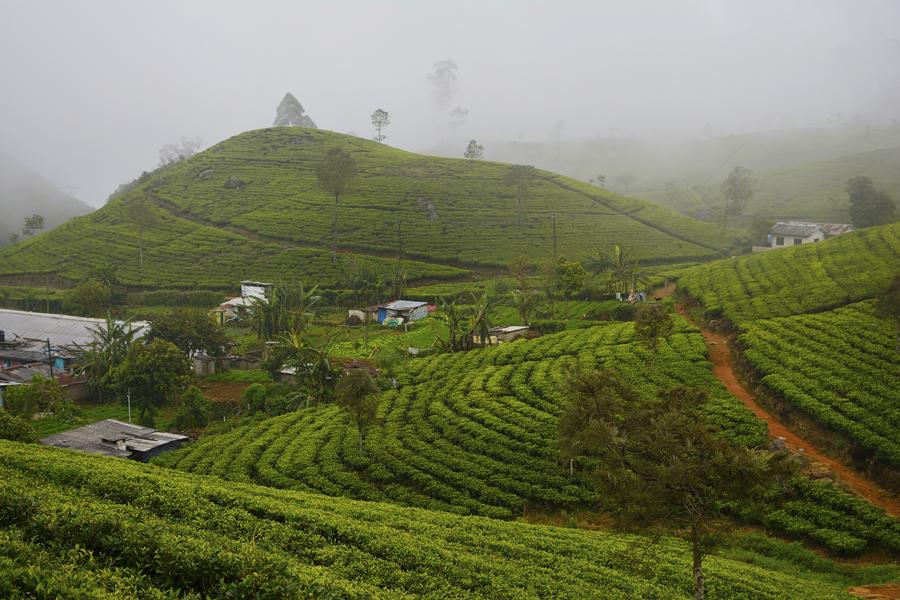 Plantacje herbaty Lipton's Seat