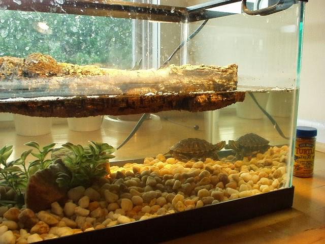 Akvaryum su kaplumbağa resimleri