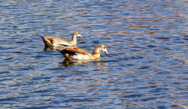 Egyptian geese swimming