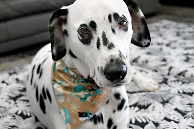 Dalmatian dog relaxing on a dog bed wearing a bandana