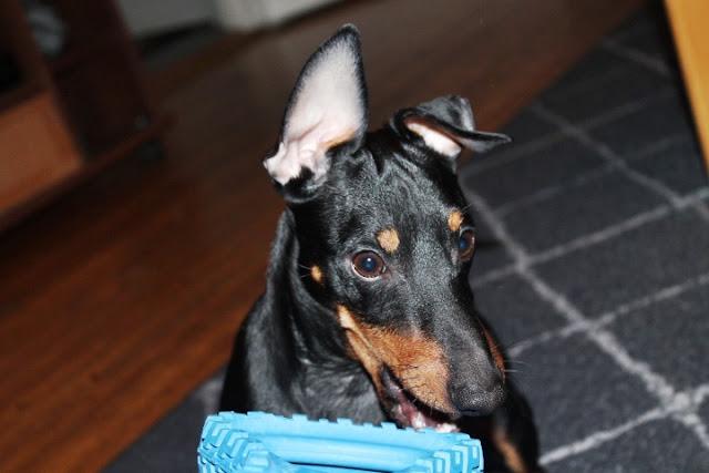 5 syytä olla ottamatta koira
