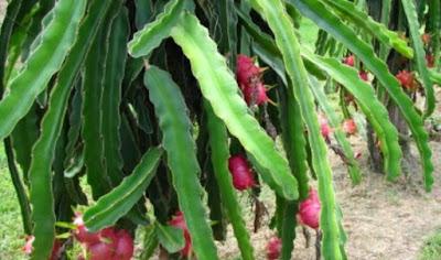 Cara Menanam buah Naga Yang Baik Dan Benar