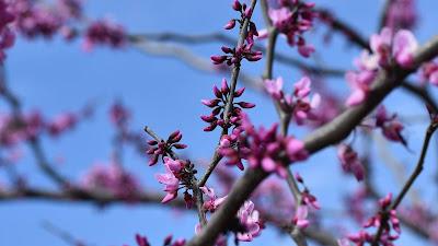Wallpaper purple flowers, tree, branches, spring, macro
