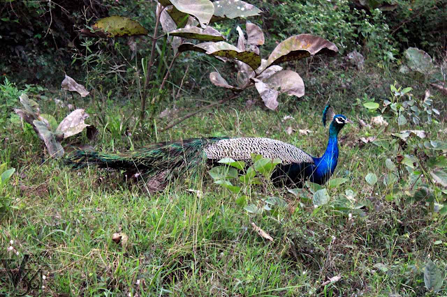 Indian Peafowl Male - Bandipur National Park