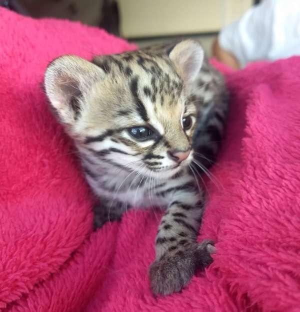 Filhote de jaguatirica é resgatado em Nova Russas