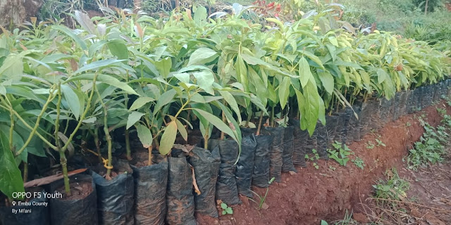 certified grafted hass avocado seedlings