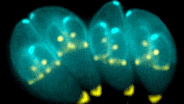 """Descubren cómo """"secuestra"""" a las células inmunes un peligroso parásito que vive en gatos y ya infectó a un tercio de la humanidad"""
