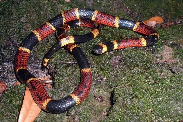 rắn độc Coral