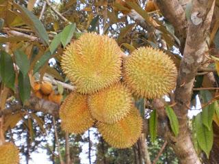 Durian Bawor Super