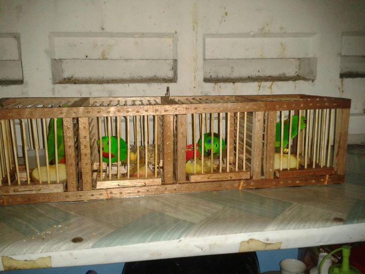 Tiga parang panjang, sebuah motosikal yamaha lc 135 dan pelbagai. TOTALLY PROTECTED PETS: Burung Serindit - Rumah Baru