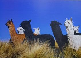 アルパカが集団で放牧されている様子