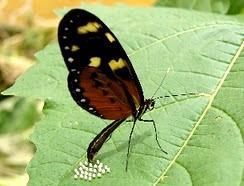 Foto de una mariposa poniendo huevos en una hoja verde