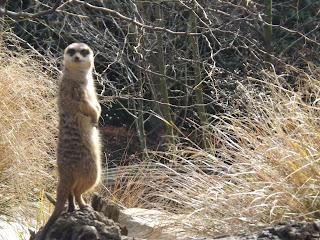 Meerkats watching whilst sunbathing